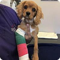 Adopt A Pet :: King George - Sherman Oaks, CA