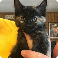 Domestic Shorthair Kitten for adoption in Hanna City, Illinois - Nebula-adoption pending