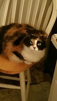 Calico Cat for adoption in Ortonville, Michigan - Angelina