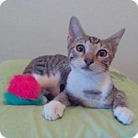 Domestic Shorthair Kitten for adoption in Oviedo, Florida - Bentley