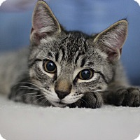 Adopt A Pet :: Chessie - Richmond, VA