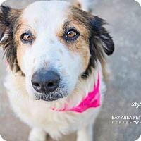 Adopt A Pet :: Skylar - San Leon, TX