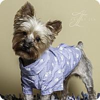 Adopt A Pet :: Dolce - Baton Rouge, LA