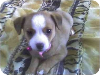 Chihuahua/Terrier (Unknown Type, Small) Mix Puppy for adoption in Fowler, California - KiKi