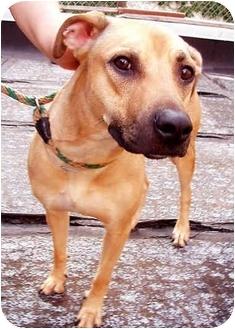 Rhodesian Ridgeback/Labrador Retriever Mix Dog for adoption in New York, New York - Adriene