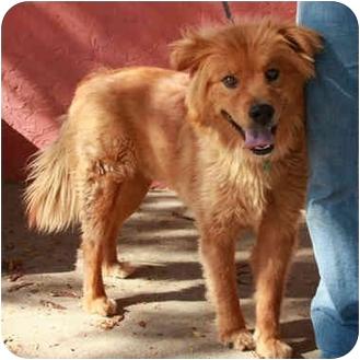 Golden Retriever/Chow Chow Mix Dog for adoption in Denver, Colorado - Chewy