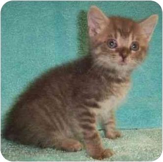 Domestic Shorthair Kitten for adoption in Reston, Virginia - Houston