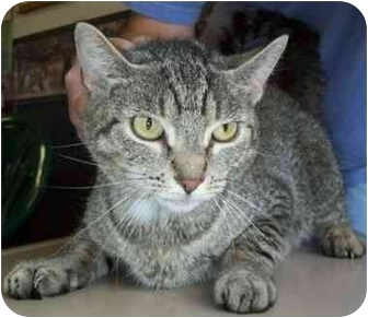 Domestic Shorthair Cat for adoption in North Judson, Indiana - Elsie