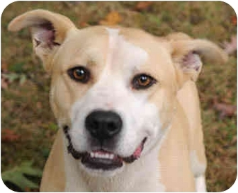 Siberian Husky/American Staffordshire Terrier Mix Dog for adoption in Chicago, Illinois - Chase