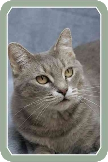 Domestic Shorthair Cat for adoption in Sterling Heights, Michigan - Ashley - ADOPTED!