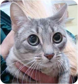 Domestic Shorthair Cat for adoption in Haughton, Louisiana - Shiloh