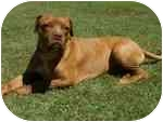 Dogue de Bordeaux/Boxer Mix Dog for adoption in Sacramento, California - Bubba,for your heart