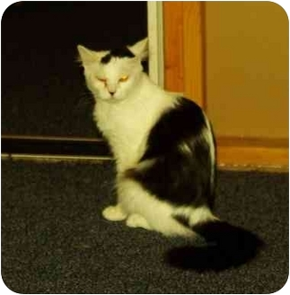 Domestic Longhair Cat for adoption in Witter, Arkansas - MITZY