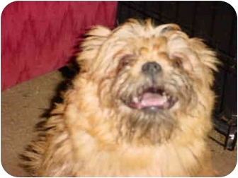 Brussels Griffon Dog for adoption in Poland, Indiana - Chewy