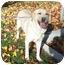 Photo 1 - Labrador Retriever Dog for adoption in Provo, Utah - Amie