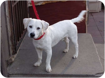 Beagle/Terrier (Unknown Type, Medium) Mix Dog for adoption in Los Angeles, California - Xolo