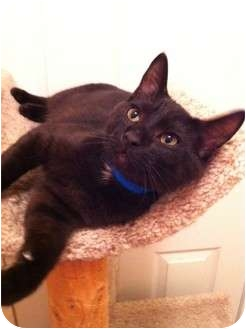 Domestic Shorthair Cat for adoption in Hendersonville, Tennessee - Aiden