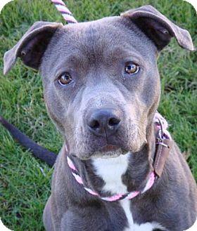 American Pit Bull Terrier Mix Dog for adoption in Red Bluff, California - Velvet-URGENT-$45 adoption fee