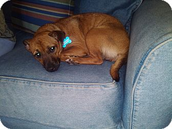 Dachshund/Chihuahua Mix Puppy for adoption in hollywood, Florida - Jasmine