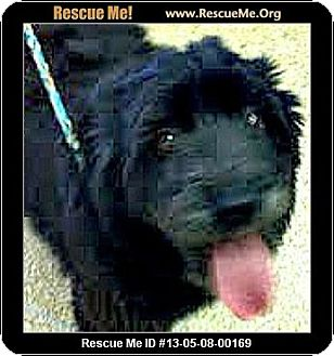 Schnauzer (Miniature)/Poodle (Standard) Mix Dog for adoption in Boulder, Colorado - Lucia