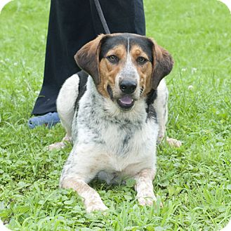 Cattle Dog Mix Dog for adoption in New Martinsville, West Virginia - Champ