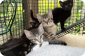 Domestic Shorthair Kitten for adoption in Acme, Pennsylvania - Rt 201 Kittens