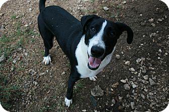 Border Collie Mix Dog for adoption in San Antonio, Texas - Lucky