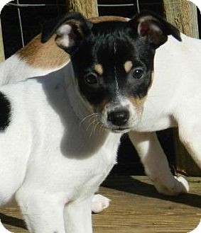 Fox Terrier (Smooth) Mix Puppy for adoption in Londonderry, New Hampshire - Foxy