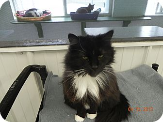Domestic Longhair Cat for adoption in Buffalo, Wyoming - Pandora