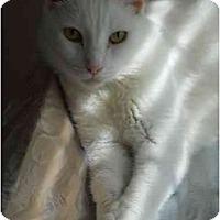 Adopt A Pet :: Super Cuddly White Cat! - Elkton, MD