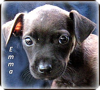 Australian Shepherd/Labrador Retriever Mix Puppy for adoption in Marlborough, Massachusetts - Emma -victimized but saved