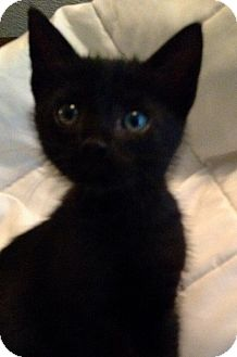 Domestic Shorthair Kitten for adoption in Savannah, Georgia - Franklin