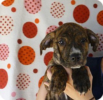 Boxer/American Bulldog Mix Puppy for adoption in Oviedo, Florida - Bently