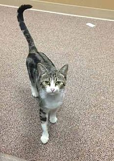Domestic Shorthair Cat for adoption in Prestonsburg, Kentucky - Miss kitty