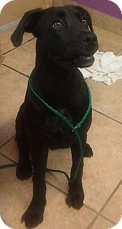 Great Dane/Boxer Mix Puppy for adoption in Kirby, Texas - Venus