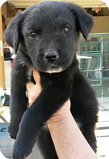 Labrador Retriever/Australian Shepherd Mix Puppy for adoption in Cave Creek, Arizona - Reba
