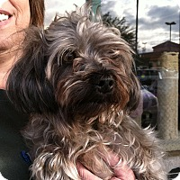 Adopt A Pet :: Mr Grey - Los Angeles, CA