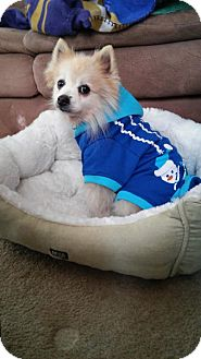 Pomeranian Dog for adoption in Brookeville, Maryland - Wally