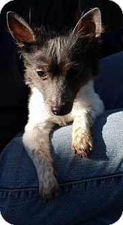 Terrier (Unknown Type, Small) Mix Dog for adoption in Gustine, California - HOPE
