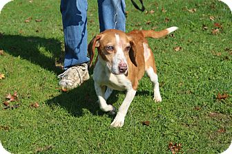 Beagle Dog for adoption in Transfer, Pennsylvania - Nikki II