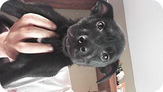 Labrador Retriever Mix Puppy for adoption in LAKEWOOD, California - Stella