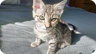 Domestic Shorthair Kitten for adoption in Columbus, Ohio - Zoe