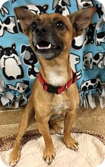 Chihuahua/Dachshund Mix Dog for adoption in The Dalles, Oregon - Sparrow