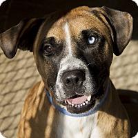 Boxer Mix Dog for adoption in East Smithfield, Pennsylvania - Blue