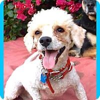 Adopt A Pet :: SWEET Lorenzo**Video* - Pasadena, CA