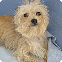 Yorkie, Yorkshire Terrier Mix Dog for adoption in Tracy, California - Chip