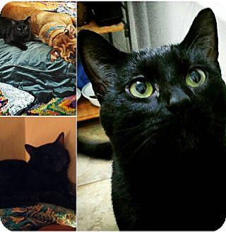 Domestic Shorthair Cat for adoption in Olympia, Washington - Raven