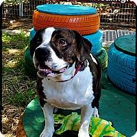 Adopt A Pet :: Ms. Meatball - Austin, TX