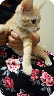 Domestic Shorthair Kitten for adoption in La puente, California - Booker