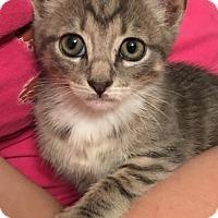 Adopt A Pet :: Pip - North Wilkesboro, NC